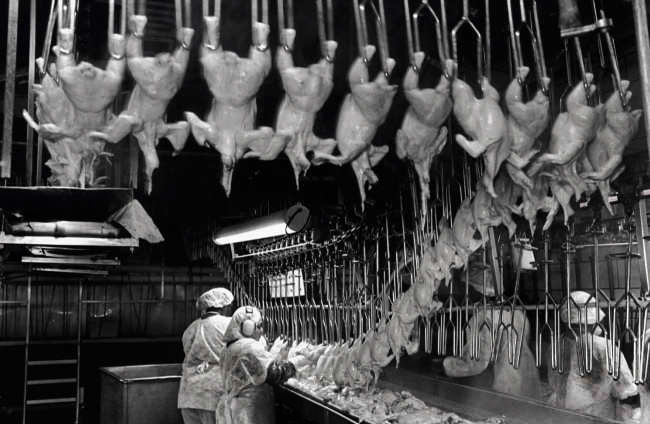 Chicken Hanging Line Photo by Earl Dotter
